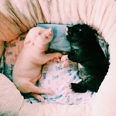 Dog Pictures In House - Dog Aesthetic Puppys - - Dog Ideas For Kids Animals And Pets, Funny Animals, Baby Pigs, Cute Little Animals, Little Pigs, Cute Creatures, Animals Beautiful, Animal Pictures, Dog Pictures