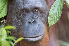 Orangutan eyes by Adolfo Perez Coronado Dont Disturb, Orangutan, Eyes, Orangutans