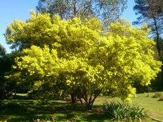 Our Acacia Floribunda.