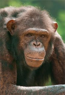 Over 100 Chimpanzees Guaranteed Sanctuary - The American Anti-Vivisection Society (AAVS)