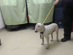 Time is up!!!! 05/16/16--HOUSTON- -EXTREMELY HIGH KILL FACILITY - This DOG - ID#A459106 I am a female, white Bull Terrier - Miniature. My age is unknown. I have been at the shelter since May 16, 2016. This information was refreshed 48 minutes ago and may not represent all of the animals at the Harris County Public Health and Environmental Services.