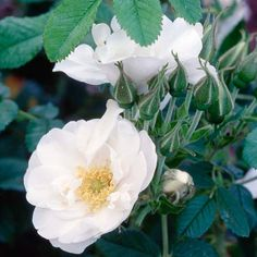 You'd expect a plant native to Siberia to be tough -- and this rose doesn't disappoint! Rosa rugosa stands up to heat and cold, drought, wind, and salt spray with ease. It bears fragrant flowers off and on from spring to fall; the flowers become pumpkin-orange rose hips that birds love.