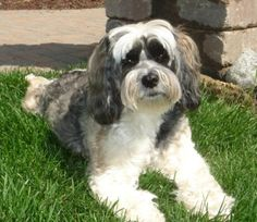 The front left side of a white, black and tan Tibetan Terrier is laying across grass and it is looking forward. It has a big black nose and wide round eyes. Akc Dog Breeds, Terrier Dog Breeds, Terriers, Tibetan Mastiff, Tibetan Terrier, Dog Breeds Pictures, Animal Pictures, Rescue Puppies, Dogs And Puppies