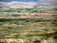 Dunes Den Helder with Scottish Highlanders