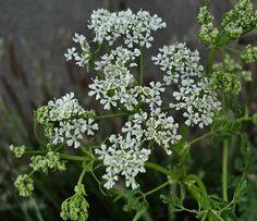 Por qué no debes cultivar cicuta - http://www.jardineriaon.com/por-que-no-debes-cultivar-cicuta.html #plantas