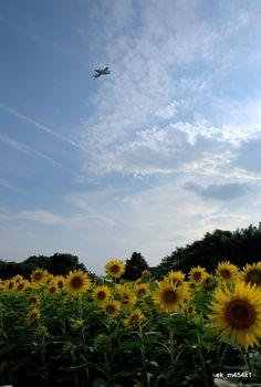 座間の向日葵  Sunflower field in Zama, Kanagawa pref., Japan.