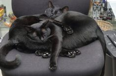 Two black cats are better than one.