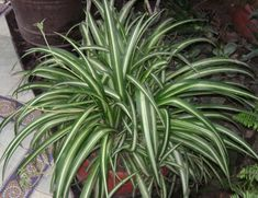 Spider Plant: this plant can remove up to 90 percent of the toxins in your indoor air. Top 10 NASA Approved Houseplants for Improving Indoor Air Quality Indoor Office Plants, Indoor Garden, Indoor Plants, Plantas Indoor, Water From Air, Chlorophytum, Spider Plants, Indoor Air Quality, Cool Plants