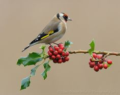 Goldfinch resting on Holly by Dean Mason on 500px