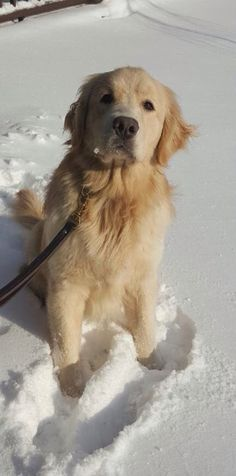 Golden Snow Dog