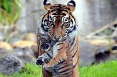 And sometimes they enjoy laying belly up. | 17 Tigers Just Being Big Cats