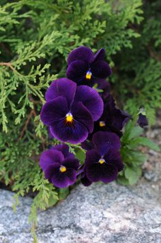 The blue violets are my favourite flowers