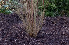 Need to move a shrub? Transplant a deciduous shrub to a new area where it can flourish, using our easy practical guide, from BBC Gardeners' World Magazine.