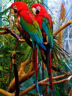 A pair of green-winged macaws from South America, not to be confused with the scarlet macaw,  These are one of the most popular bird pets.  The supply is now bred domestically, their numbers in the wild will hopefully increase.  Before you rush out to buy one, be aware that macaws have big loud bird talk that is not congenial in an apartment complex.  These two are at the San Diego Zoo.