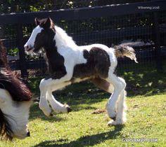 http://www.gypsymvp.com/horses/brooklyn/brooklyn-gypsy-vanner-filly.html