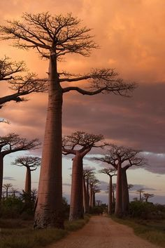 Avenue of the Baobabs, Madagascar Baobab tree More at FOSTERGINGER @ Pinterest