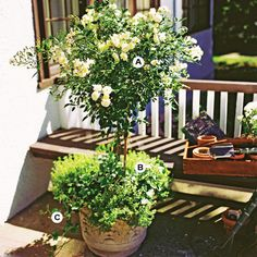 Container Gardens: Great container gardens appeal to several senses. Here, a hybrid rose and thyme offer scents as good as their looks. This planting grows best in full sun.   A. Miniature rose (Rosa spp.)--1   B. Creeping thyme (Thymus spp.)--3   C. English ivy (Hedera helix)--3