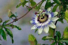 passionflower | by ♫ marc_l'esperance