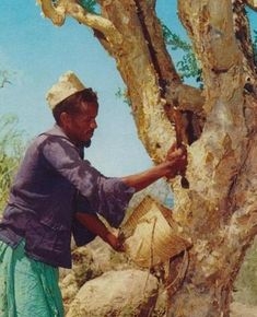 collecting Frankincense ميت سلسيل: لبان الدكر