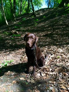 My choclat one Chocolate Labradors, Chocolate Labs, Dog Pond, Sad Eyes, Beautiful Dogs, I Love Dogs, Animals And Pets, Dogs And Puppies, Labrador Retriever