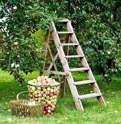 Näin sujuu omenapuun leikkaaminen