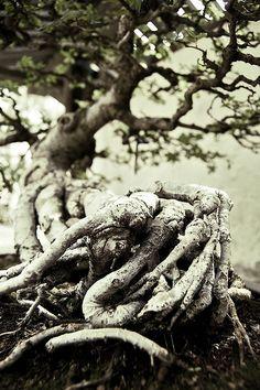 Bonsai_Root | Flickr - Photo Sharing!