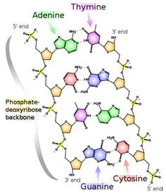 Chemical stucture of DNA