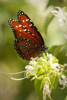 Queen butterfly (Danaus gilippus)