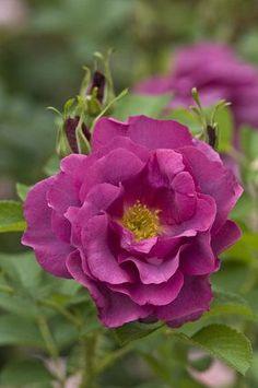 Hybrid Rugosa English Shrub Rose: Rosa 'Wild Edric' (U.K., 2005)