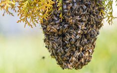 Common types of bees, bee removal, and bee control methods in Atlanta, Georgia, and Tennessee. Types Of Bees, Le Pollen, Bee Removal, Bee Swarm, Bee Boxes, Permaculture, Bee Keeping, Herbs, Pest Control