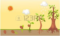Tree life cycle vector
