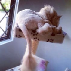 Gato persa. Peluqueado estilo León