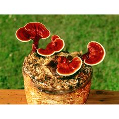 The Reishi Mushroom Patch™ — Fungi Perfecti