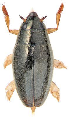 Orectochilus villosus (O.F. Müller, 1776)