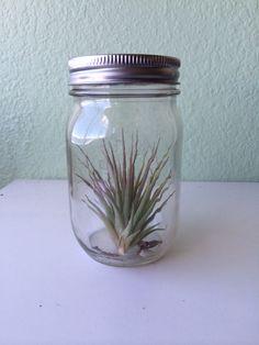 air plant in a jar Plants In Jars, Air Plants, Terrariums, Aquariums, Corporate Gifts, Mason Jars, Gift Ideas, Tanked Aquariums, Promotional Giveaways