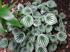 Watermelon Peperomia. Looks like a basketful of watermelons. Also, for those not in the subtropics, it can be grown indoors.