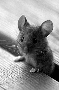 Little young mouse