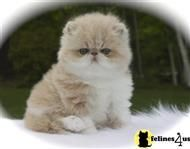 Persian Cat Persian Kitten Posted By Centralparkpersians Persian Kittens Persian Cat Cats
