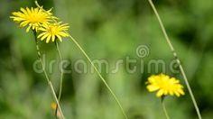 (C) Celia Ascenso - Frame Of Serene Yellow Wild Flowers Swinging.