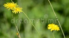 (C) Celia Ascenso - Frame Of Serene Yellow Wild Flowers Swinging.