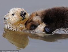 rare white sea otter and cub