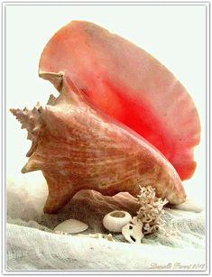 Conch Shell Photograph - Pink Cong Shell by Danielle Parent White Sea, I Love The Beach, Shell Art, Big Shell, Ocean Life, Sea Creatures, Under The Sea, Beautiful Beaches, Sea Shells
