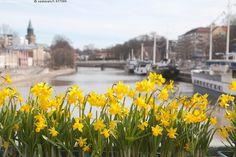 Teatterisillan narsissit - Turku Aurajoki silta Teatterisilta kevät kukat narsissit keltaiset kaupungin istutukset kevätistutukset kukkaistutukset kukkaruukut kaupunkimaisema kaupunkinäkymä kaupunki kaupungin keskusta aurinkoinen päivä kevätpäivä