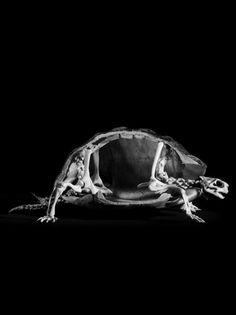 Tortoise skeletal structure