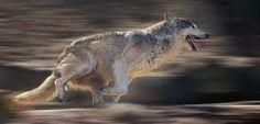 Kuvahaun tulos haulle wolf running