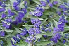 Image result for Caryopteris × clandonensis 'Heavenly Blue'