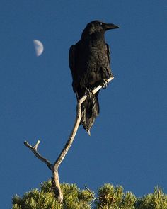Raven + Moon by cocoa biscuit on Flickr. Common Raven, Pima Point, South Rim, Grand Canyon National Park, Arizona