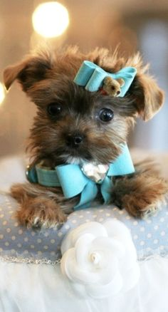 shih tzu yorkie pomeranian mix shih tzu pomeranian mix puppies for sale zoe fans blog 4656