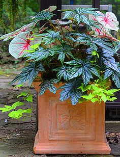 Shade: Begonia Gryphon with caladium White Queen and sweet potato vine