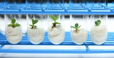 Plant Cell Technology manufactures PPM™ (Plant Preservative Mixture), a heat stable preservative/biocide that effectively prevents or reduces microbial and fungal contamination in plant tissue culture